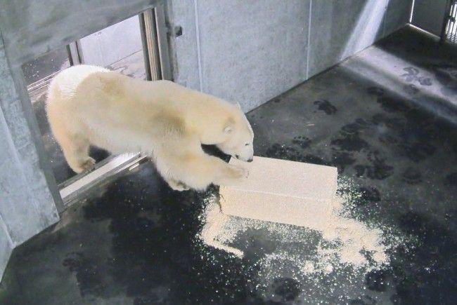 Nora erkundet die Eisbärenwelt im Wiener Zoo