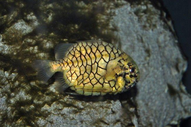 Die Tannenzapfenfische im Haus des Meeres