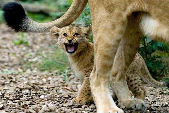In Schönbrunn setzt man bei den Löwen auf Verhütung