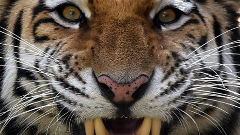 Tiger verletzte in Deutschland zwei Zirkus-Dompteure