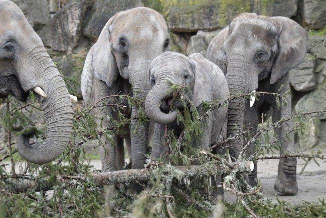 Die Elefanten ließen sich den Christbaum schmecken