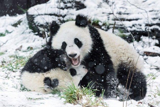 Die Freude über den Schnee ist den Schönbrunner Pandas deutlich anzusehen