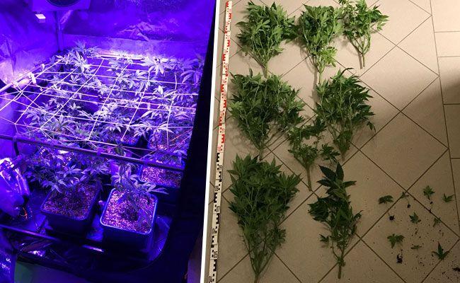 In der Wohnung des 38-jährigen Wieners wurde eine Marihuana-Plantage entdeckt.