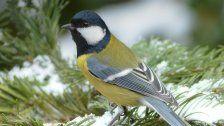 """Wintervogelzählung 2018: Kohlmeise ist """"Siegerin"""""""