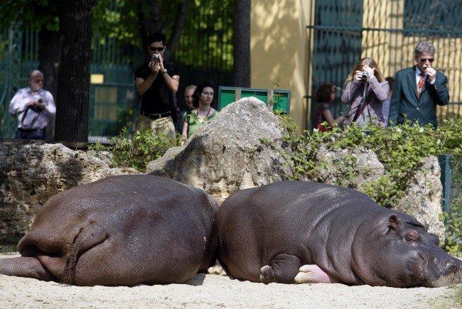 Die Hippos im Tiergarten Schönbrunn bekommen ein neues Außengehege.
