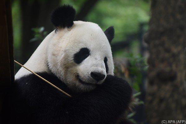 Der Riesenpanda ist eine bedrohte Tierart
