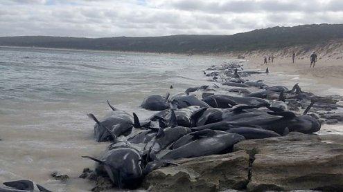Nur fünf von 150 in Australien gestrandeten Walen überlebten