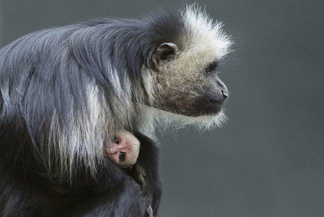 Im Tiergarten Schönbrunn wurde ein Bärenstummelaffenbaby geboren.