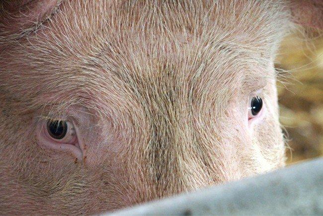 Bei dem Unfall verendeten mehrere Schweine.