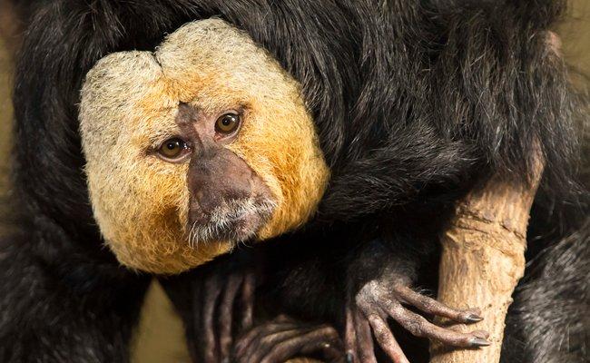 """Die Weißgesichtssakis werden auch """"fliegende Affen"""" genannt."""