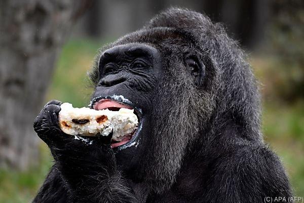 Gorilladame Fatou darf sich ausnahmsweise ein Stück Torte gönnen