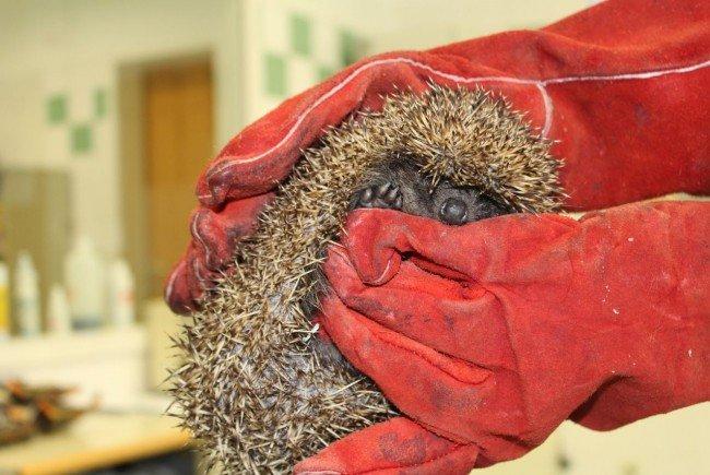 Der Igel wird im Wiener Tierschutzverein behandelt.