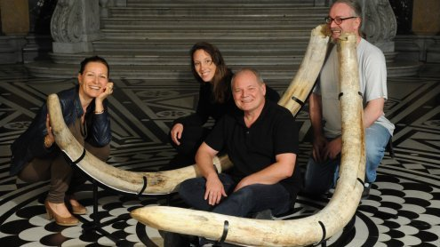 Mammutstoßzähne werden in NÖ erstmals öffentlich ausgestellt