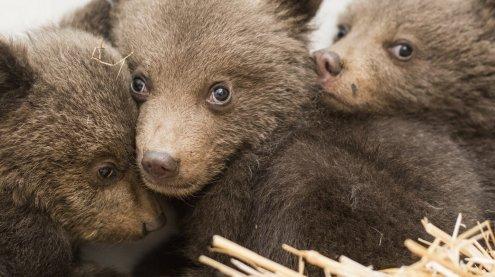 """Vier Pfoten"" kann verwaiste Bärenbabys aus Bulgarien retten"