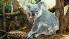 Koala-Weibchen Mirra Li in Schönbrunn verstorben